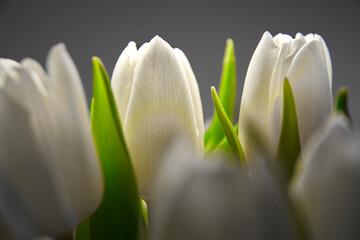 Obraz white tulips in close-up  - fototapety do salonu