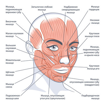 Facial muscles of the female. Detailed bright anatomy on russian isolated on a white background vector illustration