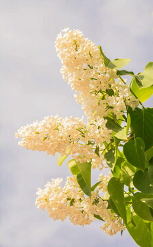 Branch of blooming white lilac against the sky