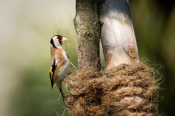 Fototapeta A European Goldfinch collecting material for nest