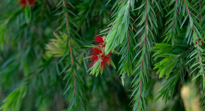 Melaleuca viminalis, commonly known as weeping bottlebrush, or creek bottlebrush is a plant in the myrtle family, Myrtaceae . selective focus