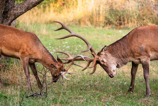 Two male deer fight with their big antlers