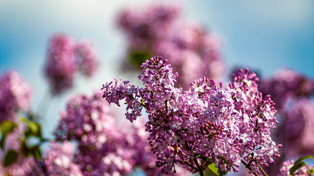 Blooming lilacs on a blurred background and blue sky.