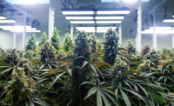top of cannabis ruderalis plants in science lab for naking medicine and herb