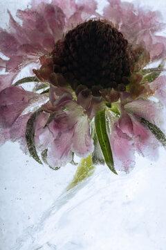 Blüte der Sonnenbraut in Eis 2