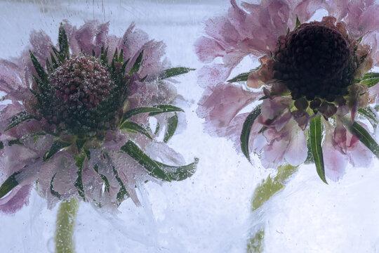 2 Blüten der Sonnenbraut in Eis