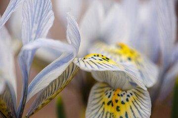 Blooming blue iris flower in early spring macro photography. Wildflower with striped yellow-blue petals close-up photo in a springtime. Light blue iris Katharine Hodgkin floral background.