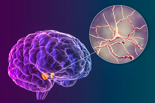Substantia nigra of the midbrain and its dopaminergic neurons, 3D illustration
