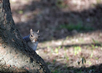 Cute squirrel peeking over a tree trunk in a forest with sunlight and shade from trees in the back