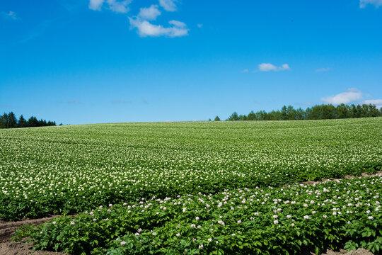 ジャガイモ畑と夏空