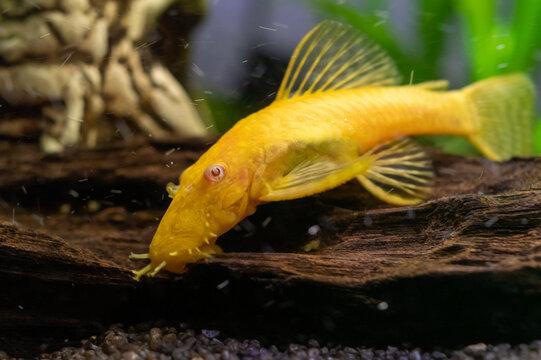 zbrojnik złoty (Ancistrus Gold) ryba akwariowa