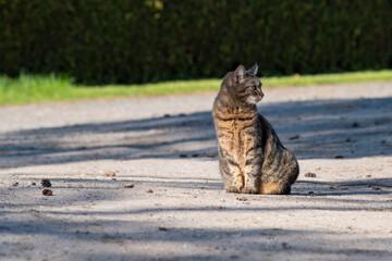 Fototapeta pręgowany kot europejski siedzi na ziemi obraz