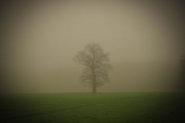 Fototapeta Samotny, bezlistny dąb w mglisty poranek.