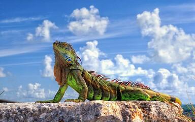 iguana on the rock