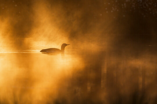 Red throated loon swim in the morning light