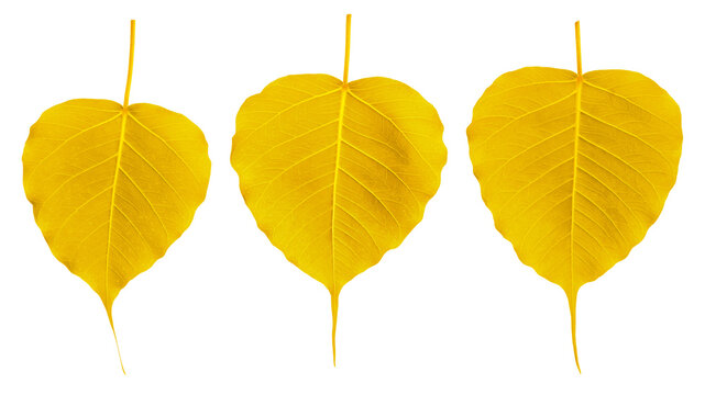 Gold bodhi leaves on a white background.