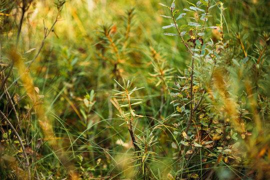 Rhododendron tomentosum, ledum palustre, Marsh Labrador Tea, Northern Labrador Tea or Wild Rosemary, Native To Marshes. Belarus, Belarusian Nature
