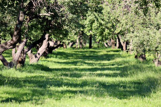 Alley of old branching trees and green grass. Ancient park, summer nature for background