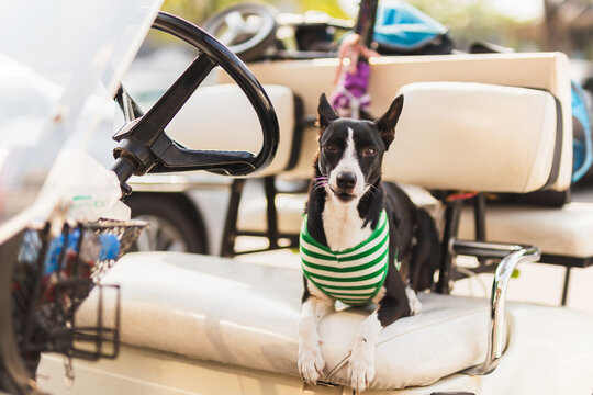 Black dog wearing shirt sit on golf cart waiting for owner.