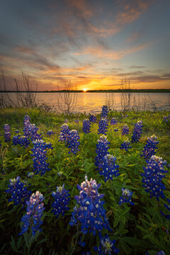 Stunning Sunset Over Bluebonnets and Lake Bardwell in North Texas