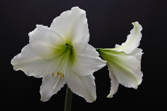 Almost absolute beauty - amazing big flower Hippeastrum (sometimes incorrectly called Amaryllis)