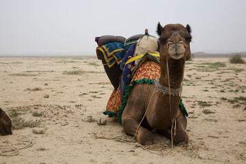 Obraz Dromedary in the desert looks at the camera. It's ready to take off, just need to stand up as it sits. Overcast sky. Normal perspective. Day. - fototapety do salonu