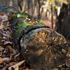 Fototapeta stary, ścięty pień drzewa, porośnięty mchem leżący wśród suchych liści w lesie obraz