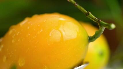 Fototapete - Closeup scene of shower water flowing on freshly harvested ripe sweet yellow Marian Plum.