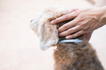 woman wearing a collar band for dog, kill and repel tick and flea