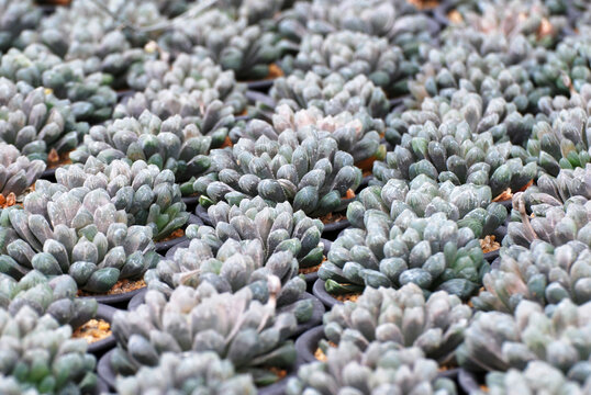 closeup white haworthia cooperi cactus or succulent flower pot in the garden - Houseplant gardening backdrop and beautiful detail background