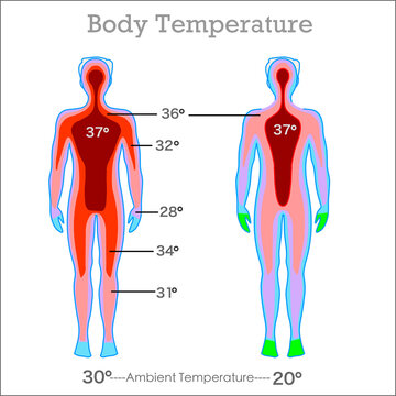Human body temperature. Core falling from high temperature towards the limbs. 37 degrees celsius, core.  Thermal camera. Man thermographic illustration Vector