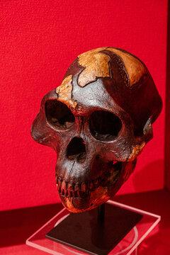 A. afarensis, Lucy skull replica, Museo Comarcal de Molina de Aragón, Guadalajara, Spain