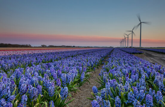 blue and purple hyacinths and windmills in dusk