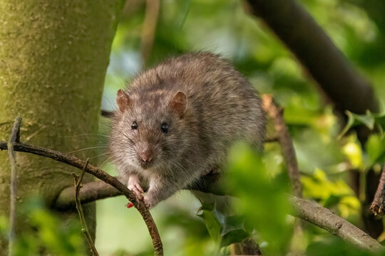 A Brown rat scurries along a tree branch