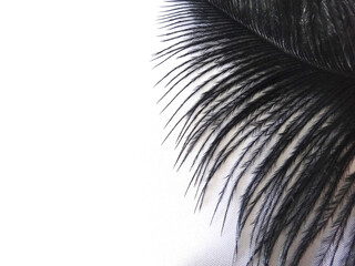 Black ostrich feather on a light background