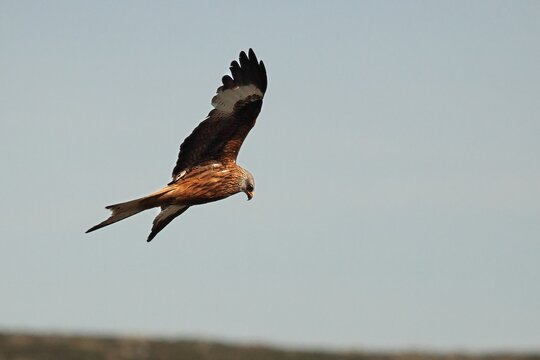 The golden eagle (Aquila chrysaetos) flying ower the rocks.