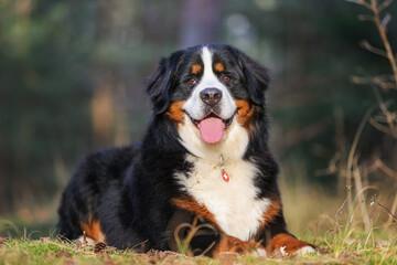 portrait of a beautiful purebred dog