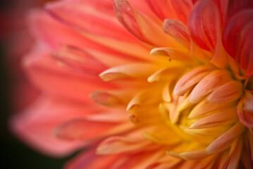 Fototapeta różowy kwiat