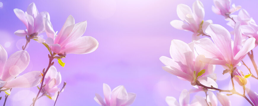 abstract nature spring background. Flowering magnolia tree