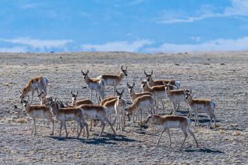Fototapeta Wild Pronghorn in the Colorado Grasslands