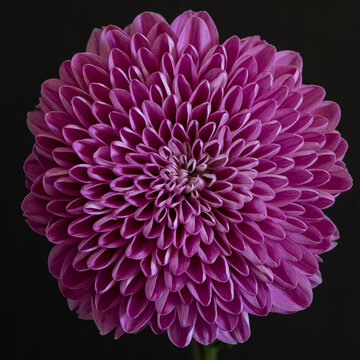 Radial symmetry of a Dalia flower, pink, against black background, viewed from close, cropped tight
