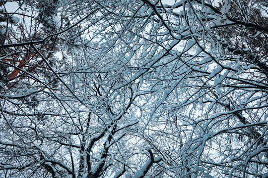 a look up at snow-covered treetops