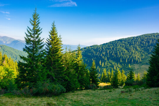 spruce trees on the mountain meadow. wonderful summer landscape in the morning. idyllic nature background of ukrainian carpathians