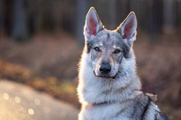 Obraz Portret psa wilczak czechosłowacki - fototapety do salonu