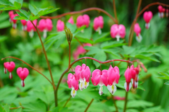 Heart-shaped pink and white flowers of dicentra spectabilis bleeding heart
