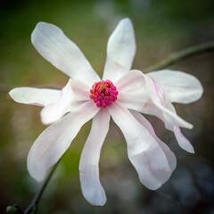 Obraz Magnolia - fototapety do salonu
