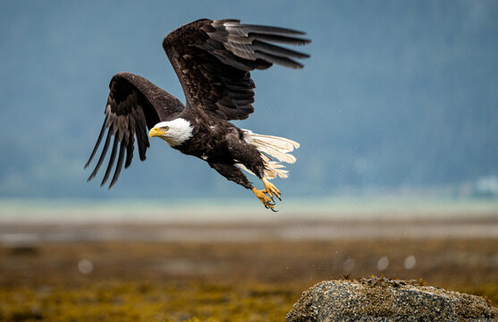 An American Bald Eagle takes off from a top a rock in the intertidal zone of Juneau Alaska