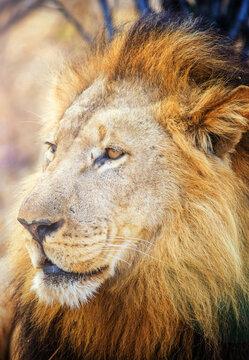 Lion male (Panthera leo)