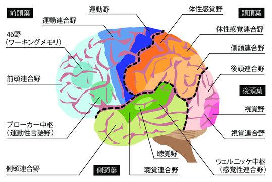 人間の脳の構造のイラスト