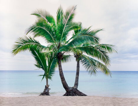 Two young tropical palm trees at waters edge of Fiji Island